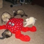 Octoplay Ferret Toy 3